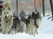 Dogs, sleighs and mushers in Pirena 2012 Stock Images
