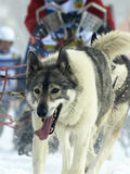 Dogs, sleighs and mushers in Pirena 2012 Royalty Free Stock Photos