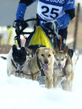 Dogs, sleighs and mushers in Pirena 2012 Royalty Free Stock Images