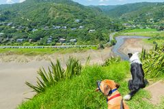 Dogs on the slopes of Lion Rock looking down at Piha Beach. Below in New Zealand stock images