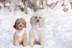 Dogs in snow. Group of dogs in snow Royalty Free Stock Image
