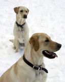 Dogs in snow. Labrador dog in snow winter Stock Image