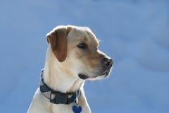 Dogs in snow. Retriever labrador dog in snow winter Stock Photos