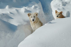 Dogs in the the snow Stock Image