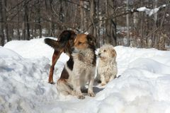 Dogs on snow Royalty Free Stock Photos