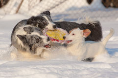 Dogs in snow Royalty Free Stock Images