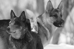 Dogs in snow Royalty Free Stock Photo