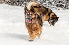Dogs in the snow royalty free stock photos