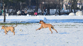Dogs on snow. Playfull dogs in the snow Royalty Free Stock Photography
