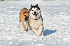 2 dogs in the snow Royalty Free Stock Photography