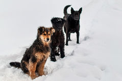 Dogs in the snow. Three dogs are sitting in the snow Royalty Free Stock Photo