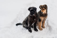 Dogs in the snow. Three dogs are sitting in the snow Royalty Free Stock Image