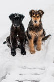 Dogs in the snow. Three dogs are sitting in the snow Stock Image