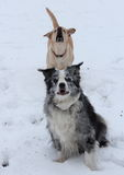 Dogs in the snow Royalty Free Stock Image