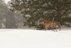 Dogs in the Snow Stock Image