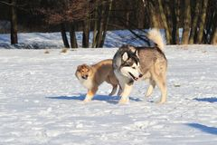 Dogs in snow. Zwo dogs are playing in the snow Stock Photo