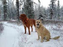 Dogs on snowy trail. Dog and dogue de bordeaux on snow I. Forest Royalty Free Stock Image