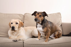 Dogs on sofa stock photo