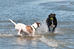 Dogs splashing in the water Royalty Free Stock Images