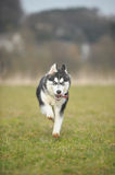 Dogs Sporty Husky Stock Image