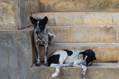 Dogs on the stair Stock Photography