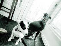 Dogs standing by backdoor. Jack Russell terrier and labrador boxer mix breed dogs standing by backdoor waiting to go outside in black and white royalty free stock photo