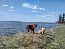 Dogs standing on shore. Dogs at shore of Lake in spring Stock Photography