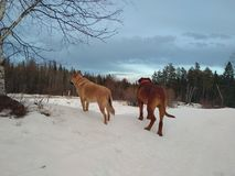 Dogs standing in snow. Looking away Stock Photography