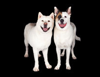 Dogs Standing Together Over Black Background Stock Image