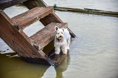 The dogs standting on Wooden stairs. At Waterfront home Stock Photography