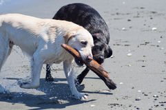 Dogs with Stick on the Beach. Two canine friends playing with a stick together at the beach along the ocean shore on a beautiful sunny day royalty free stock image