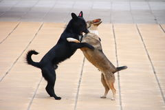 Dogs on street. Dancing dogs on clear street Stock Photography