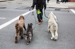 Dogs on the streets of NYC. New York City Dog Walker. Animals and their owners on the streets of the big city. The dogs on the streets of NYC Stock Image