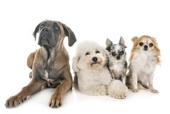 Dogs in studio royalty free stock images