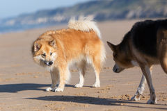 Dogs with submissive and dominate behavior. Icelandic Sheepdog (female) demonstrates submissive behavior to the approaching dominant male dog Royalty Free Stock Photography