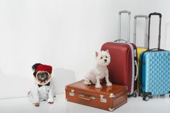 Dogs with suitcases. Two adorable dogs sitting with suitcases on white Royalty Free Stock Images