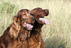 Dogs in Summer Stock Image