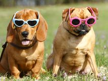 Dogs with Sunglasses. Two dogs sitting in green grass and wearing sunglasses stock image
