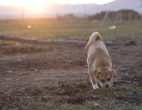 Dogs in sunset Royalty Free Stock Image