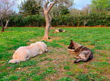Dogs at sunset. Maremma and belgian shepherds in the garden at sunset Stock Image