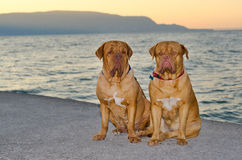 Dogs at the sunset pier. Two Dogue de Bordeaux are sitting on sunset pier Royalty Free Stock Photos