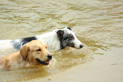 Dogs swimming Stock Photography