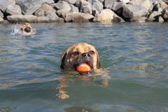 Dogs swimming Royalty Free Stock Photography