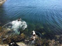 Dogs swimming in Norway. Dogs swimming in Norwegian Sea Royalty Free Stock Photo