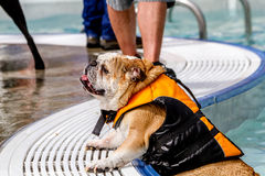 Dogs Swimming in Public Pool Stock Photos