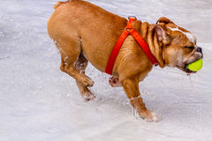 Dogs Swimming in Public Pool Royalty Free Stock Photo