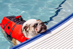 Dogs Swimming in Public Pool Stock Photography