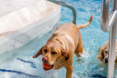 Dogs Swimming in Public Pool Stock Images