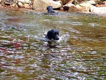 Dogs Swimming. White Mountains New Hampshire swimming hole! Dogs swimming Stock Photo
