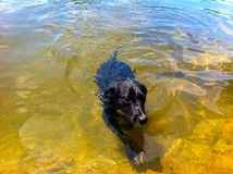 Dogs Swimming. White Mountains New Hampshire swimming hole! Dogs swimming Royalty Free Stock Images